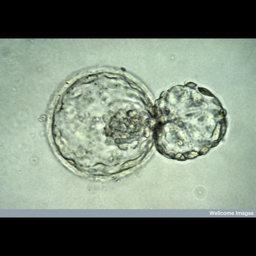 embryonic cell