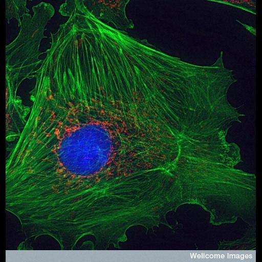 blood vessel endothelial cell